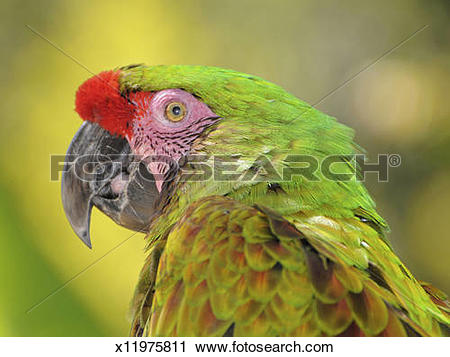 Military Macaw clipart #20, Download drawings