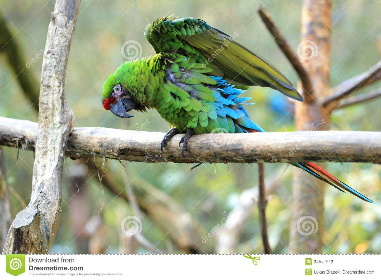 Military Macaw clipart #11, Download drawings