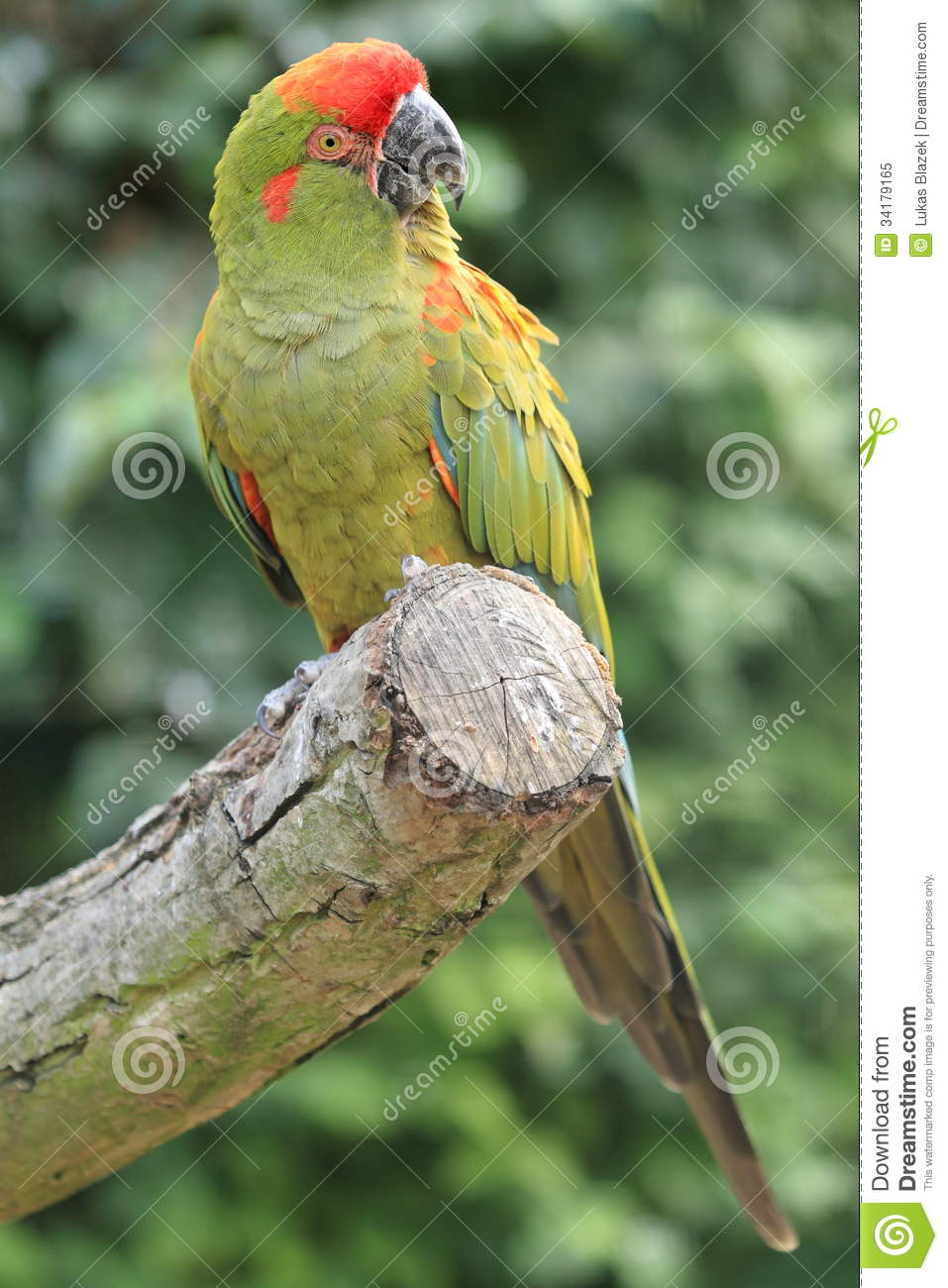 Military Macaw clipart #8, Download drawings