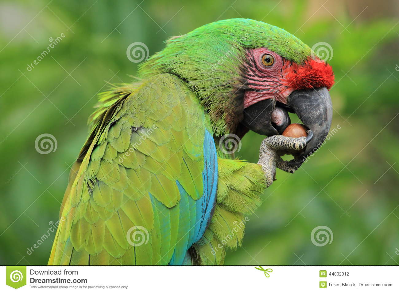 Military Macaw clipart #6, Download drawings
