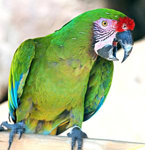 Military Macaw clipart #13, Download drawings