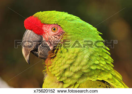 Military Macaw clipart #19, Download drawings
