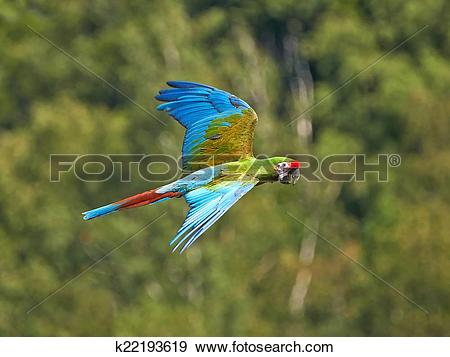 Military Macaw clipart #18, Download drawings
