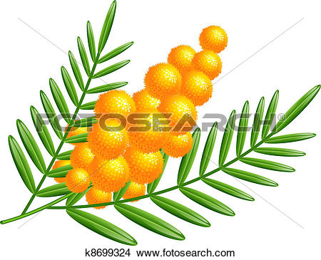 Mimosa clipart #15, Download drawings