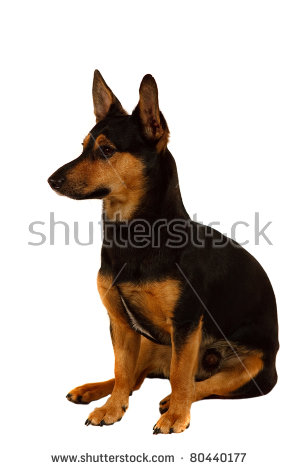 Miniature Pinscher clipart #2, Download drawings