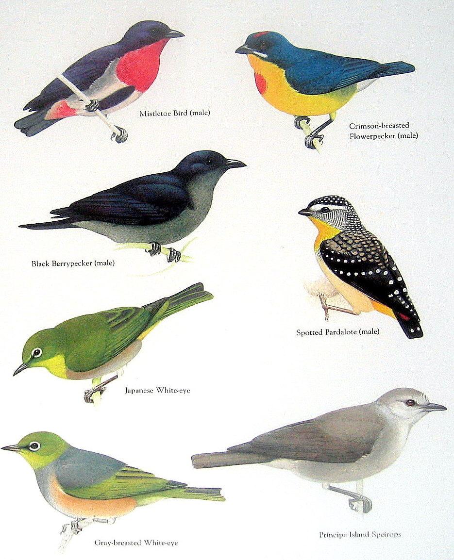 Mistletoe Bird clipart #5, Download drawings
