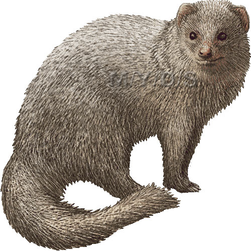 Mongoose clipart #3, Download drawings