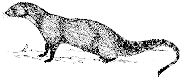 Mongoose clipart #20, Download drawings