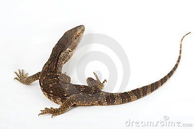 Monitor Lizard clipart #14, Download drawings
