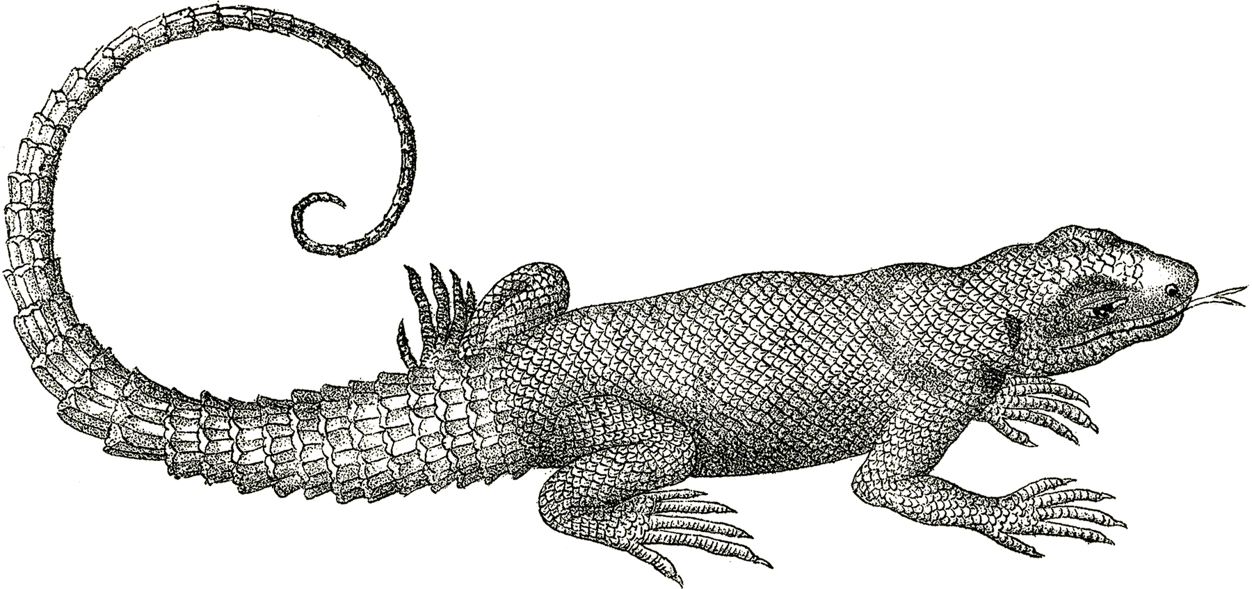 Monitor Lizard clipart #4, Download drawings