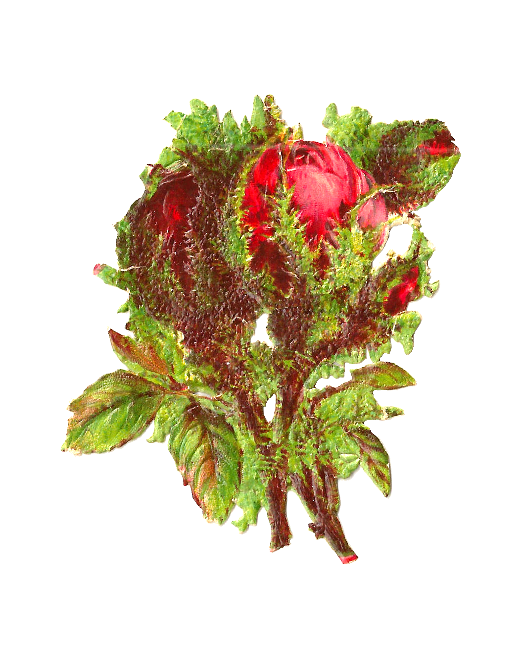 Moss Rose clipart #19, Download drawings