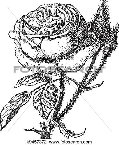 Moss Rose clipart #8, Download drawings