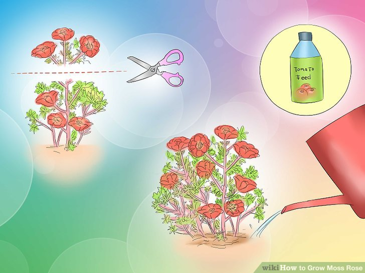 Moss Rose clipart #10, Download drawings