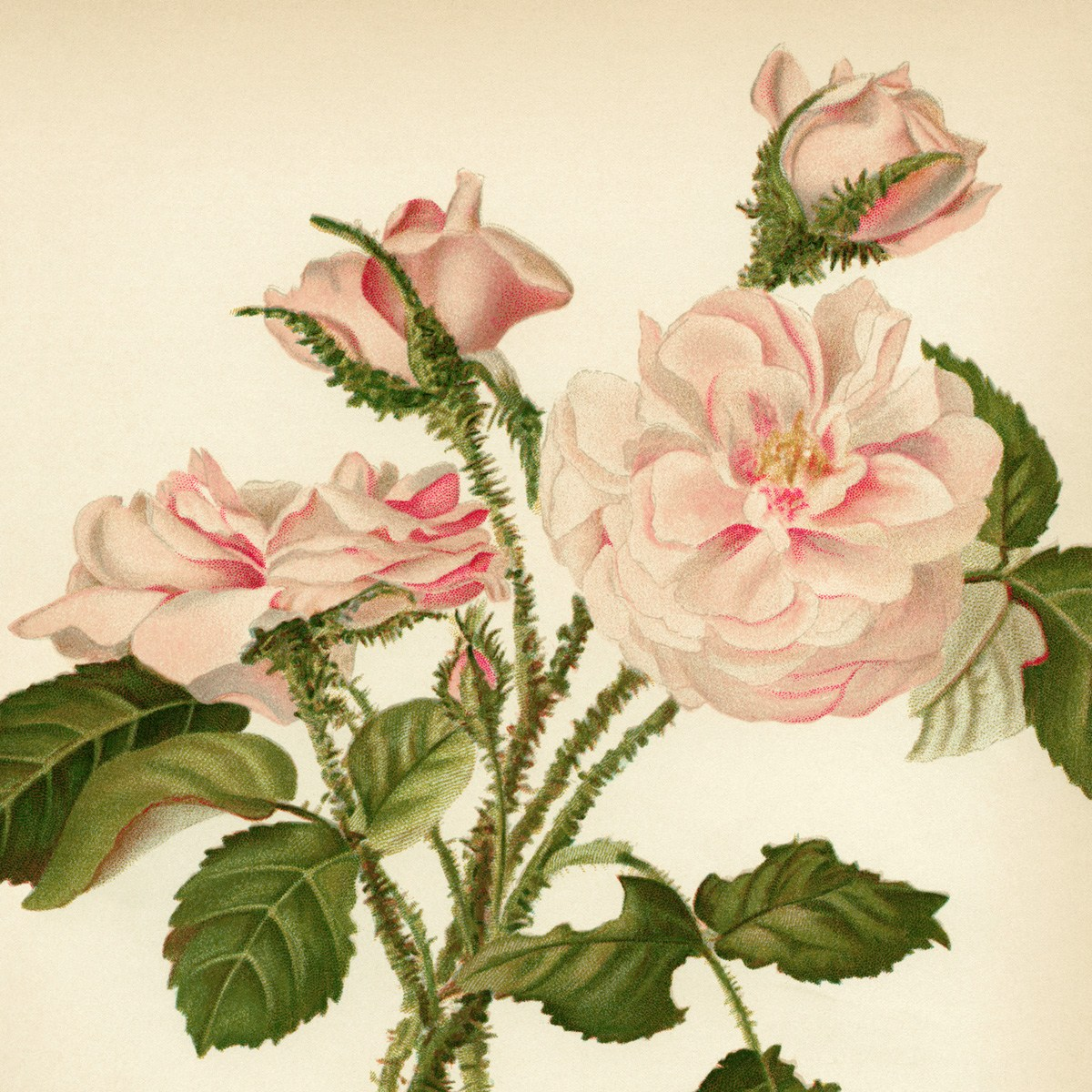 Moss Rose clipart #3, Download drawings