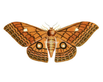 Moth clipart #17, Download drawings