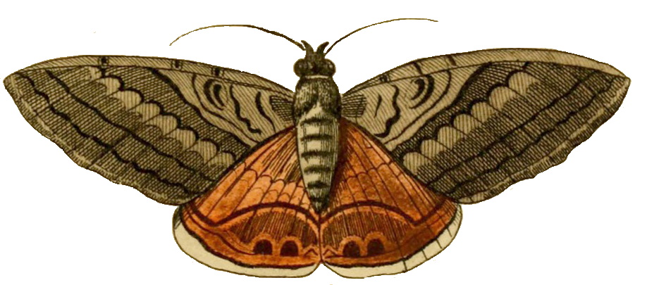 Moth clipart #4, Download drawings