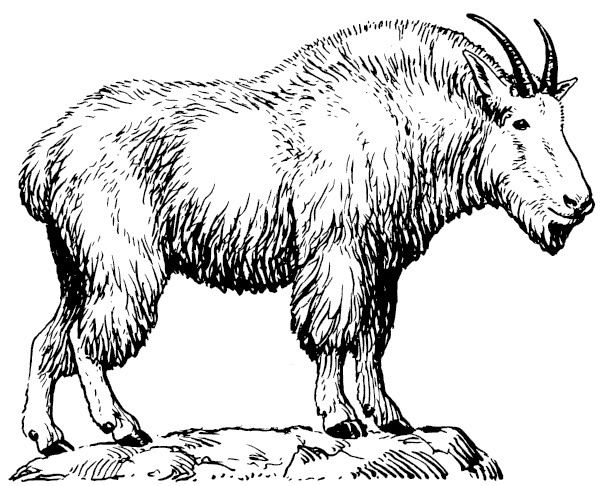 Mountain Goat clipart #20, Download drawings
