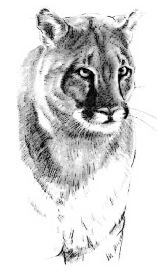 Mountain Lion clipart #17, Download drawings