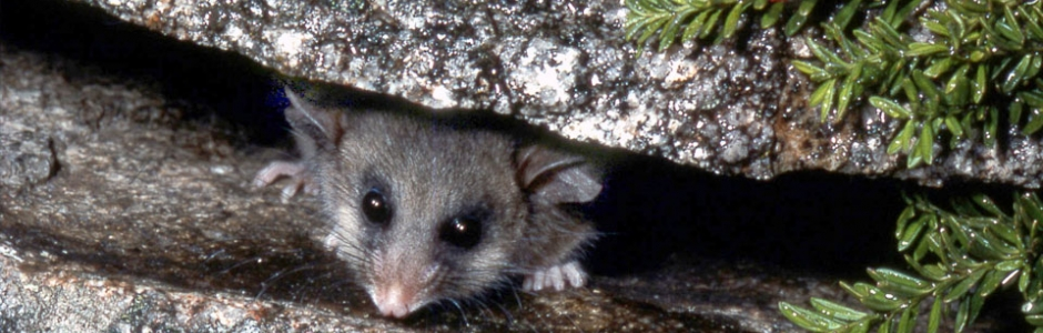 Mountain Pygmy Possum clipart #15, Download drawings