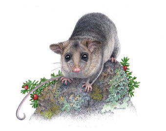 Mountain Pygmy Possum clipart #2, Download drawings