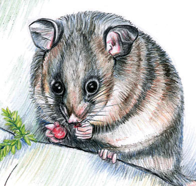 Mountain Pygmy Possum clipart #11, Download drawings