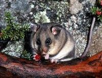 Mountain Pygmy Possum clipart #10, Download drawings