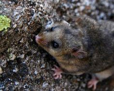 Mountain Pygmy Possum clipart #20, Download drawings