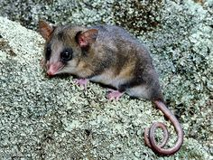 Mountain Pygmy Possum clipart #18, Download drawings