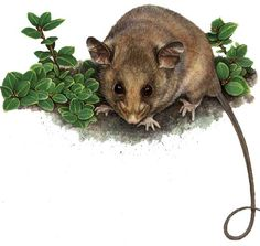 Mountain Pygmy Possum clipart #4, Download drawings