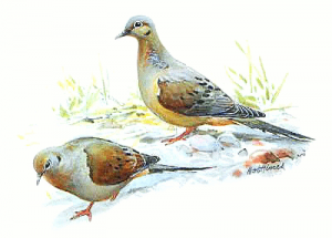 Mourning Dove clipart #17, Download drawings