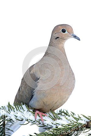 Mourning Dove clipart #7, Download drawings