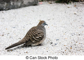 Mourning Dove clipart #11, Download drawings