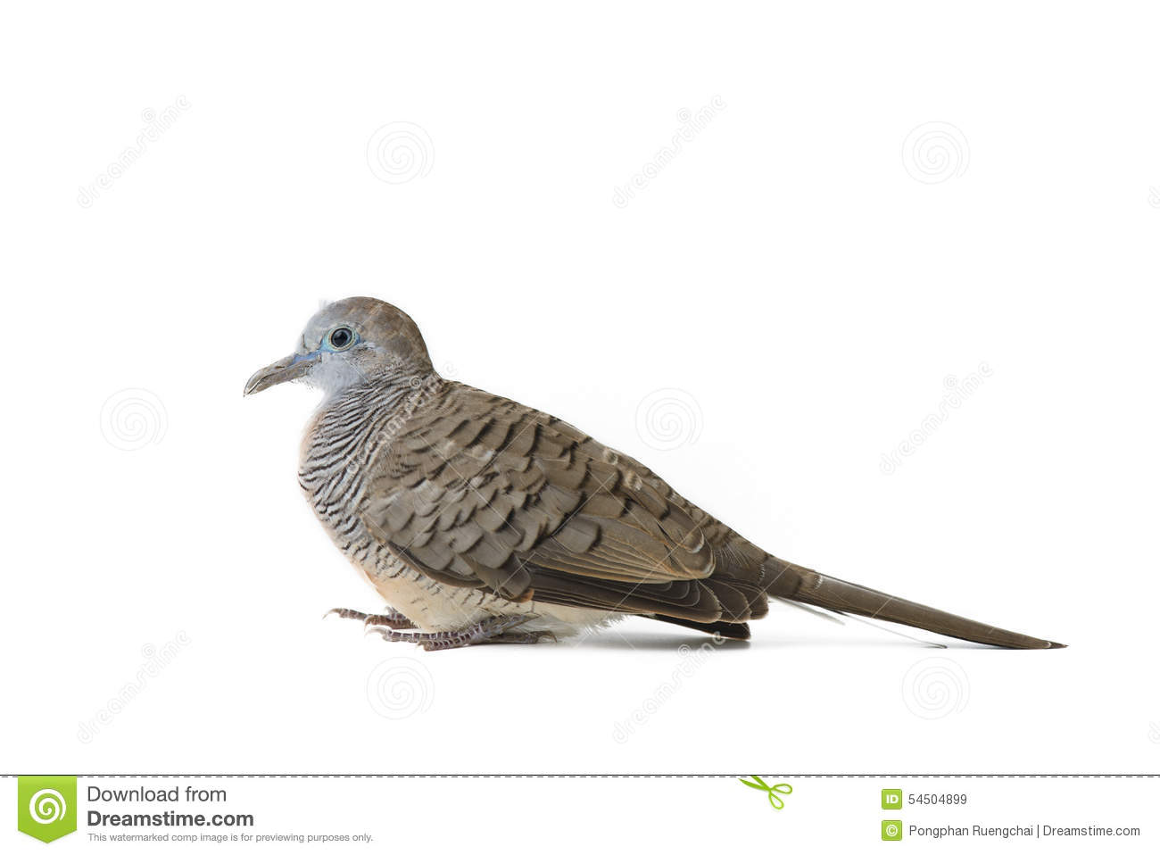 Mourning Dove clipart #10, Download drawings