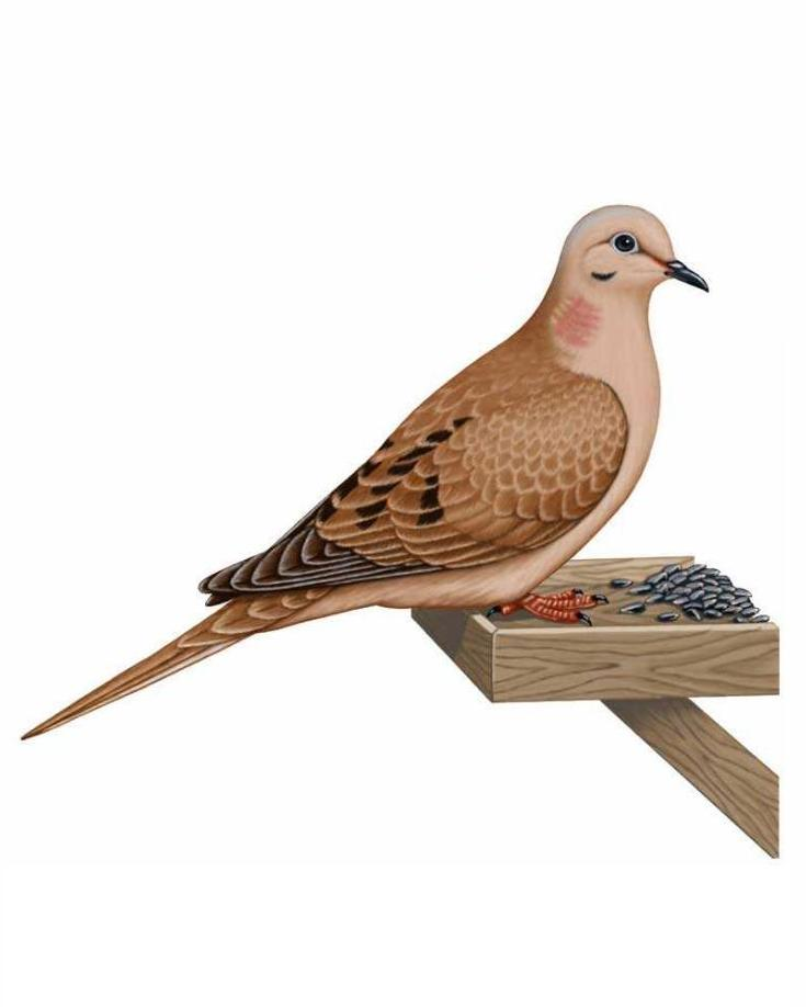 Mourning Dove clipart #12, Download drawings