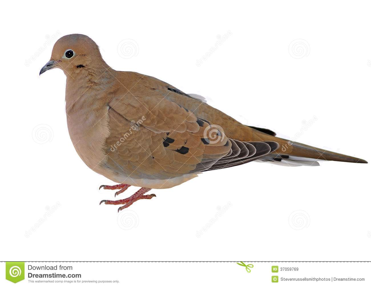 Mourning Dove clipart #2, Download drawings