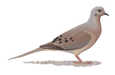 Mourning Dove clipart #4, Download drawings