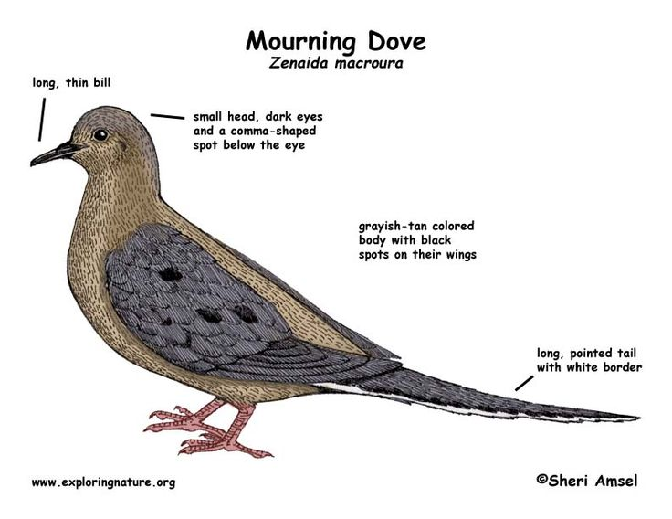 Mourning Dove Coloring, Download Mourning Dove Coloring