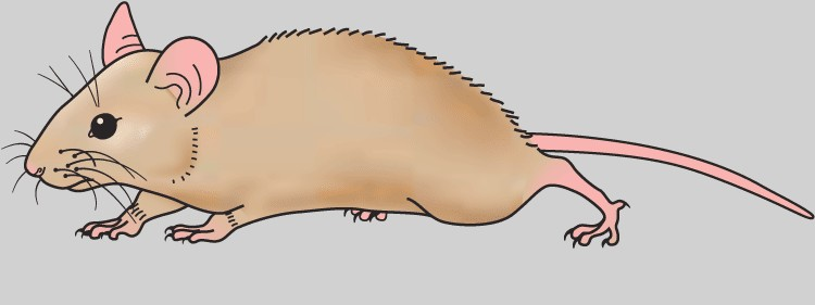 Mouse clipart #15, Download drawings