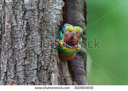 Muller's Barbet clipart #18, Download drawings