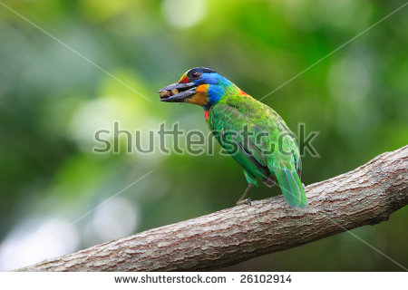 Muller's Barbet clipart #14, Download drawings