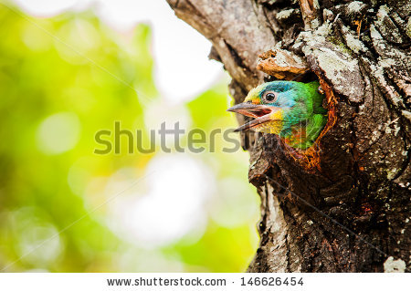 Muller's Barbet clipart #16, Download drawings