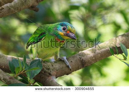 Muller's Barbet clipart #12, Download drawings