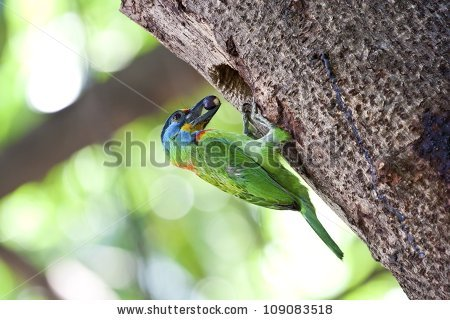Muller's Barbet clipart #5, Download drawings