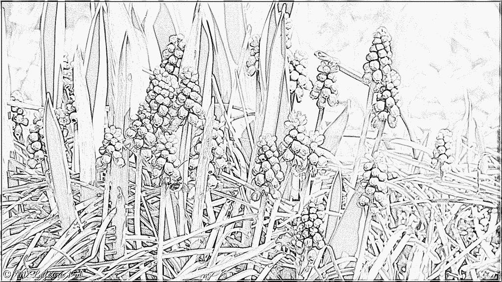 Muscari coloring #16, Download drawings
