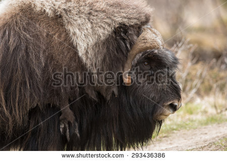 Muskox clipart #11, Download drawings