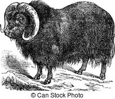 Muskox clipart #9, Download drawings