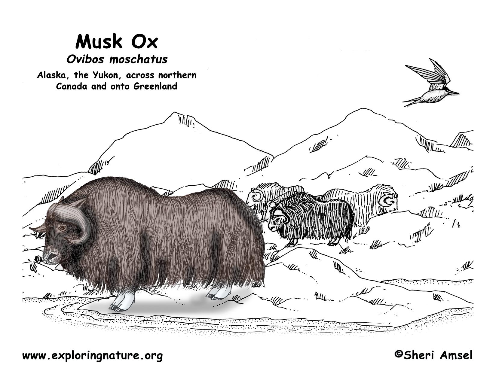 Muskox coloring #6, Download drawings