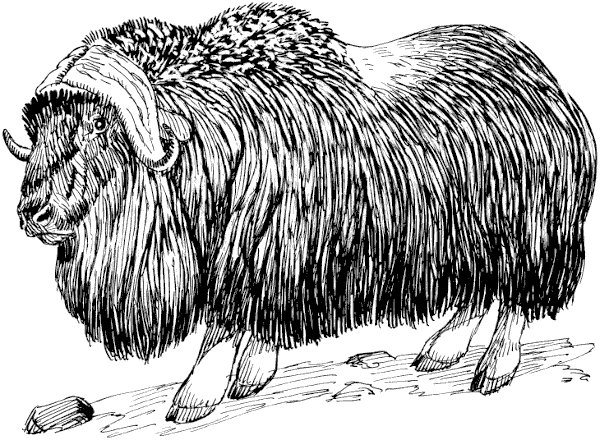 Muskox coloring #11, Download drawings