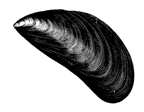 Mussel clipart #3, Download drawings