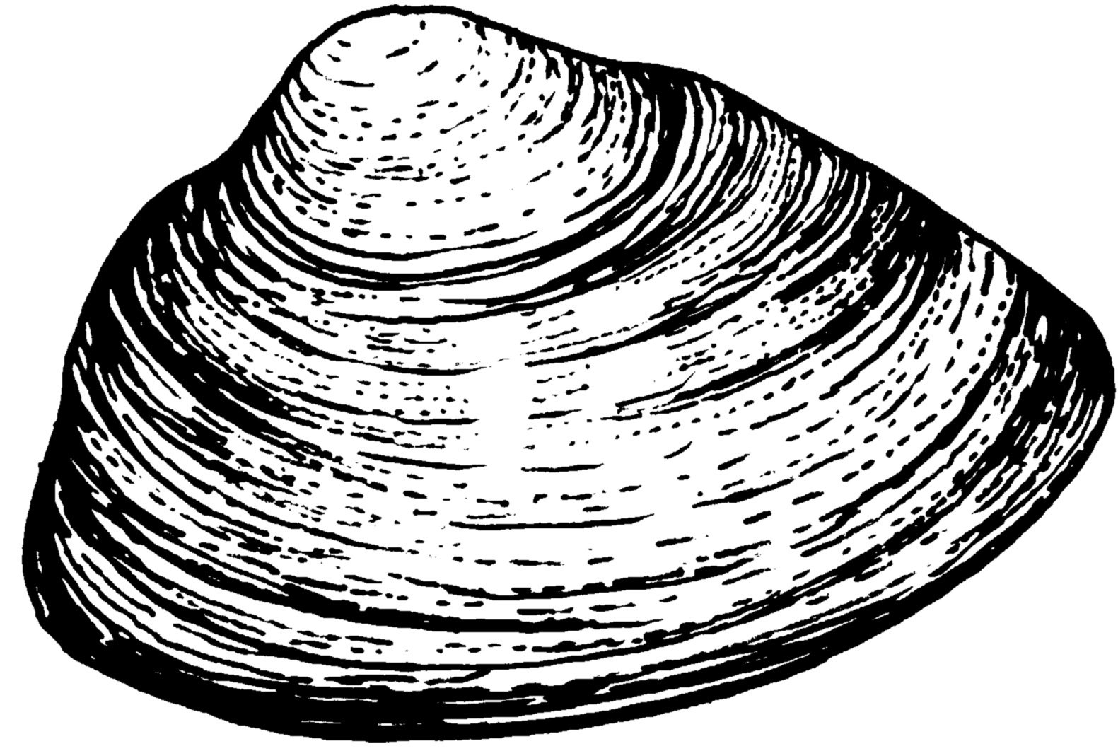 Mussel clipart #18, Download drawings